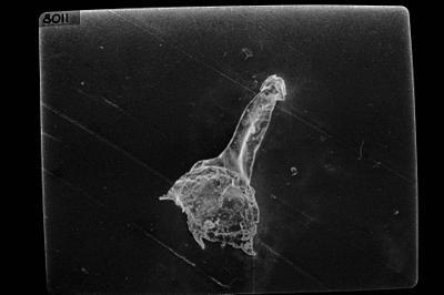 <i><i>Anthochitina</i> | Anthochitina sp.</i><br />Jaagarahu borehole, 59.60 m, Adavere Stage ( 754-1777)