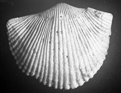 Cyrtonotella kuckersiana cf. frechi (Wysogorski, 1900), TUG 1054-21
