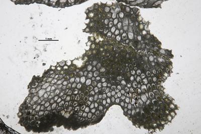 Eridotrypa aedilis (Eichwald, 1855), GIT 537-733