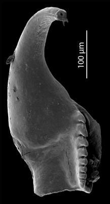 Atraktoprionidae