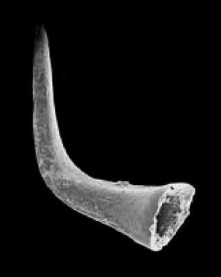 Scalpellodus gracilis (Sergeeva, 1974), GIT 342-80