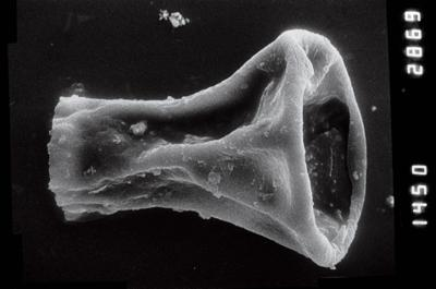 <i><i>Cyathochitina campanulaeformis</i></i><br />Laeva 18 borehole, 173.15 m, Juuru Stage ( 754-843)