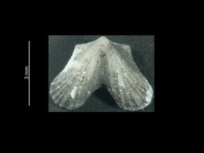 Dicoelosia biloba (Linnaeus, 1758), GIT 37-13