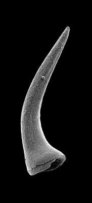 Semiacontiodus carinatus Dzik, 1976, GIT 449-77