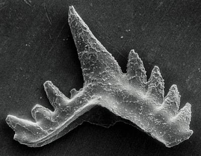 Ozarkodina excavata puskuensis Männik, 1994, GIT 254-3