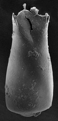<i><i>Conochitina fortis</i></i><br />Ruhnu 500 borehole, 333.00 m, Jaagarahu Stage ( 217-10)