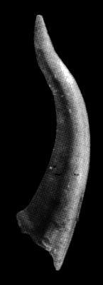 Eoconodontus notchpeakensis (Miller, 1969), GIT 271-14