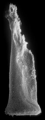 <i><i>Spinachitina fragilis</i></i><br />Nagli 106 borehole, 679.40 m, Juuru Stage ( 272-148)