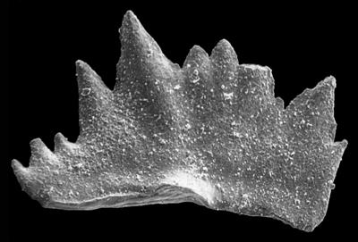 Ctenognathodus jeppssoni Viira et Einasto, 2003, GIT 371-7