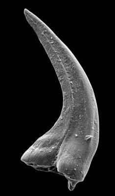Panderodus sulcatus (Fåhraeus, 1966), GIT 449-44