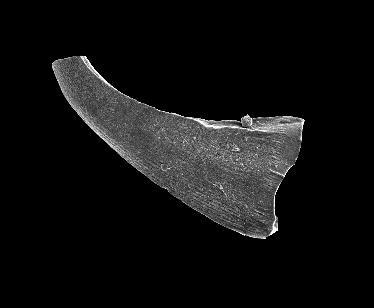 Walliserodus sp. n. b. Männik, 2008, GIT 555-45
