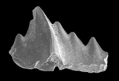 Noixodontus girardeauensis (Satterfield, 1971), GIT 573-1