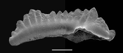 Dapsilodus sp. n. R., GIT 688-73