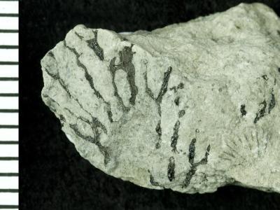 Dendroidea