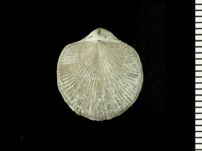 Resserella canalis (J. de C. Sowerby, 1839), GIT 128-51