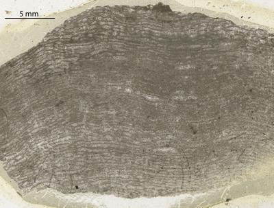Stromatoporoidea