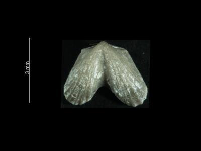 Dicoelosia biloba (Linnaeus, 1758), GIT 37-15