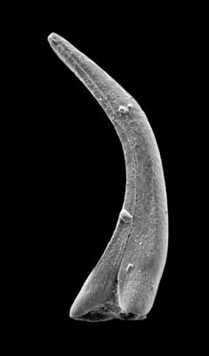 Panderodus sulcatus (Fåhraeus, 1966), GIT 449-56