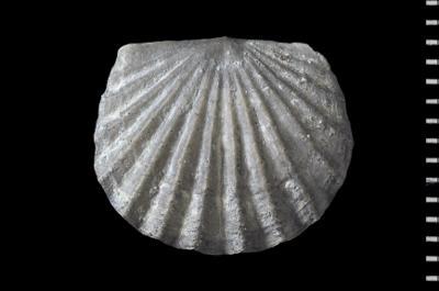 Rhynchonelliformea