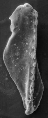 <i>Polychaetaspis varsoviensis Kielan-Jaworowska, 1966</i><br />Rapla borehole, 149.70 m, Idavere Substage