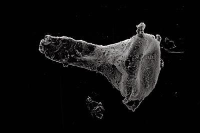 <i><i>Ancyrochitina ancyrea</i> | Ancyrochitina cf. ancyrea</i><br />Ohesaare borehole, 308.25 m, Jaani Stage ( 754-510)