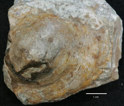 Pseudometoptoma siluricum (Eichwald), ELM G1:53