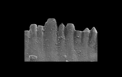 Ozarkodina denticulata Viira, 2000, GIT 281-33