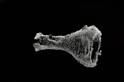 <i><i>Ancyrochitina diabolus</i></i><br />Ohesaare borehole, 118.00 m, Paadla Stage ( 754-569)