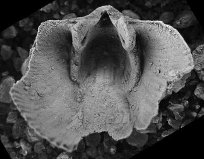 Wysogorskiella litviensis Hints, 1975, GIT 207-77