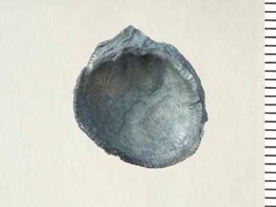Oglupes visbyensis Copper, 2004, GIT 130-119