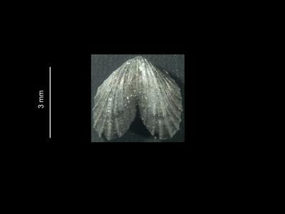 Dicoelosia baltica Musteikis et Puura, 1983, GIT 37-7