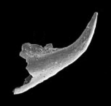 Trapezognathus quadrangulum Lindström, 1955, GIT 342-31