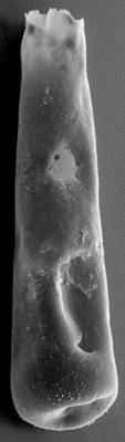 <i><i>Belonechitina postrobusta</i></i><br />Ohesaare borehole, 411.00 m, Juuru Stage ( 272-118)