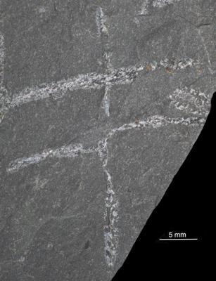 Tetragraptus quadribranchiatus (J. Hall, 1858), GIT 282-522-2