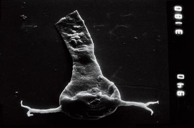 <i><i>Ancyrochitina</i> | Ancyrochitina cf. ancyrea</i><br />Nagli 106 borehole, 633.00 m, Adavere Stage ( 754-952)