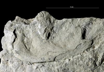 Rhizocorallium isp., GIT 362-135