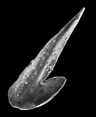 Drepanoistodus basiovalis (Sergeeva, 1963), GIT 342-26