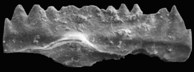 Ozarkodina aff. bohemica (Walliser, 1964), GIT 371-36
