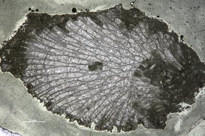 Stigmatella sp., GIT 537-396