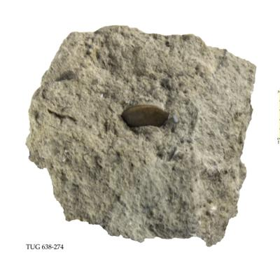 Platycopida