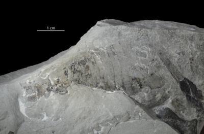 Eurypterida