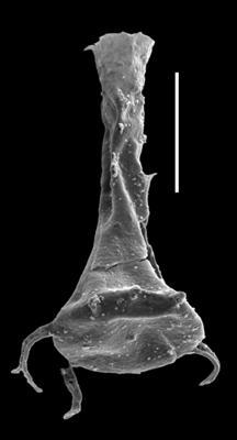 <i><i>Ancyrochitina ancyrea</i></i><br />Paatsalu 527 borehole, 85.78 m, Llandovery ( 493-18)