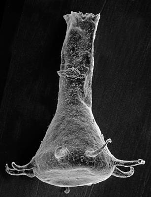 <i><i>Ancyrochitina primitiva</i></i><br />Pulli 1 borehole, 14.20 m, Jaani Stage ( 220-18)