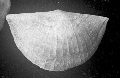 Sowerbyella (Sowerbyella) liliifera Öpik, 1930, TUG 1054-120