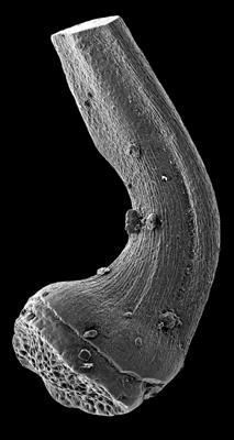 Semiacontiodus carinatus Dzik, 1976, GIT 449-69