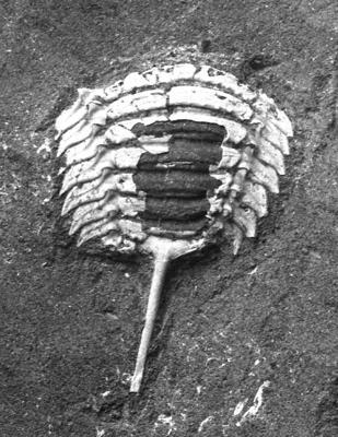 Remopleurides nanus elongatus Fr. Schmidt, 1894, TUG 1086-22