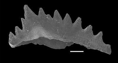 Aphelognathus pyramidalis (Branson, Mehl et Branson, 1951), GIT 551-2