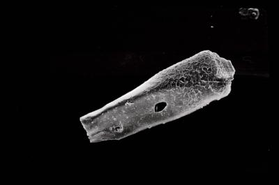 <i><i>Conochitina pachycephala</i> | Conochitina cf. pachycephala</i><br />Ruhnu 500 borehole, 344.50 m, Jaagarahu Stage ( 754-666)