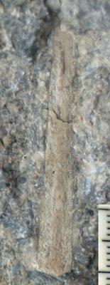 Ptilodictya lanceolata (Goldfuss, 1826), TUG 1578-11