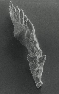 Icriognathus cornutus Männik, 1992, GIT 252-3